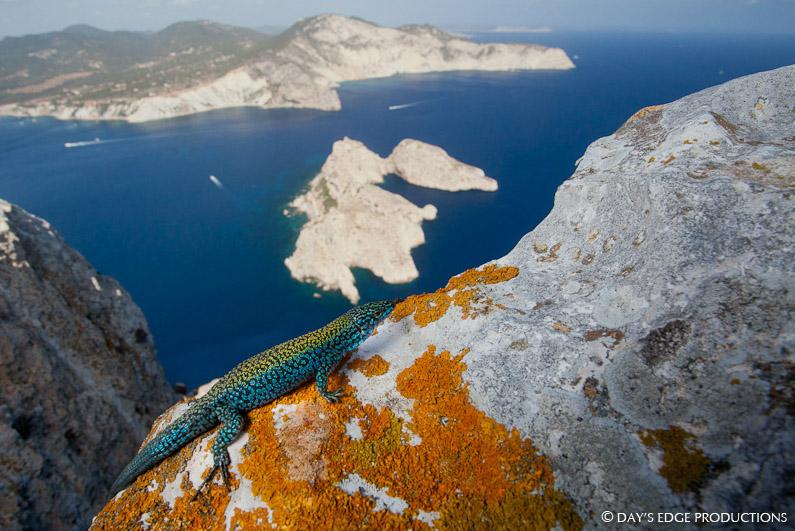 Una lagartija azul de Es Vedrà tomando el sol. Detrás, el islote de Es Vedranell y la costa suroeste de Ibiza. Foto: Day's Edge Productions