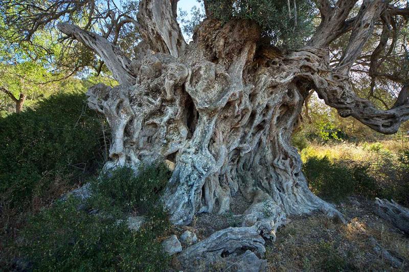 El impresionante tronco de l'olivera de n'Espanya, el olivo más grande de España. Foto: Joan Costa (Diario de Ibiza)