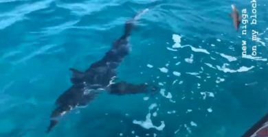 tiburon tintorera